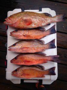 Mangrove snapper, red grouper